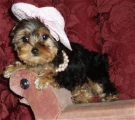 teacup yorkies for sale in jacksonville fl yorkie puppies for adoption ta bay for sale colorado springs agriculture