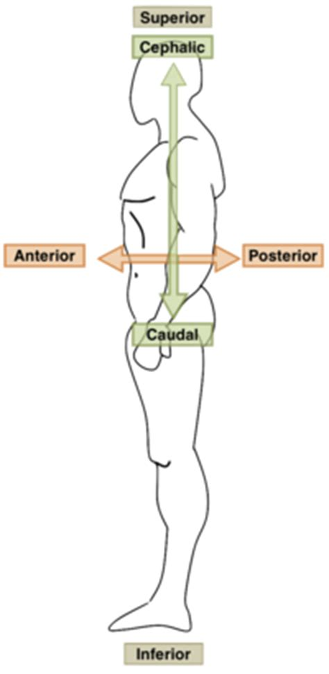Supine Definition Anatomy