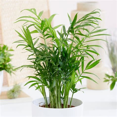 buy parlour palm dwarf mountain palm chamaedorea elegans