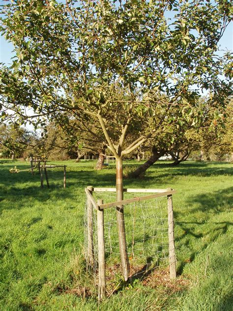 protecting fruit trees from deer planting fruit trees peoples trust for endangered species