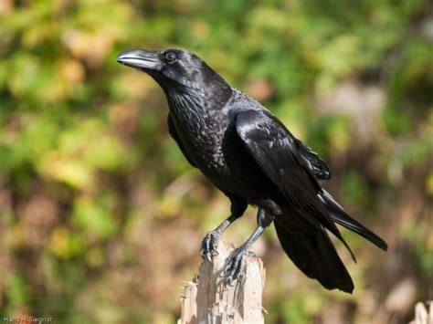 raven bird facts anatomy diet habitat behavior
