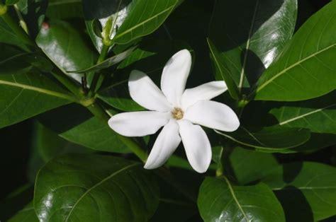 tiare fiore cos 232 il fiore di tiar 232 cos 232 il per ogni tua domanda