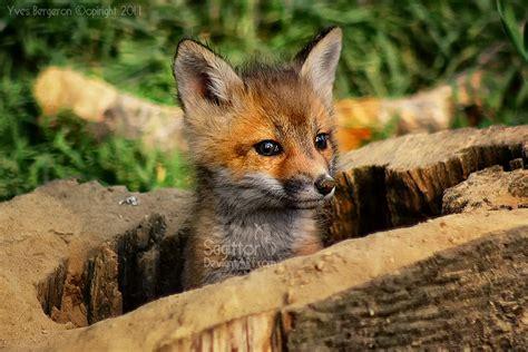 baby fox favorite animals pinterest