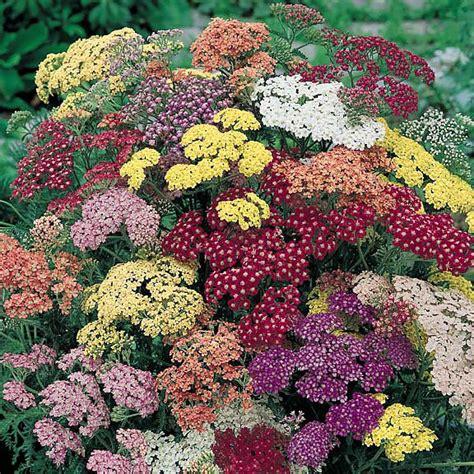 Garden Yarrow Yarrow Seeds 7 Yarrows Perennial Flower Seeds
