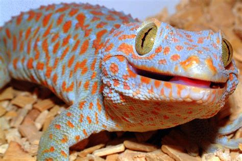 tokay geckos are biters featured creature