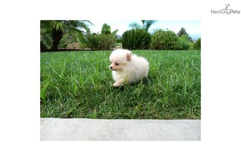 teacup pomeranian for sale in miami pomsky puppy for sale miami to pomsky puppy for sale miami breeds picture