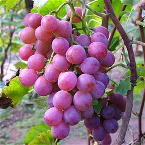 buah anggur yang hanyut di sungai ia lantas mengambil buah itu dan