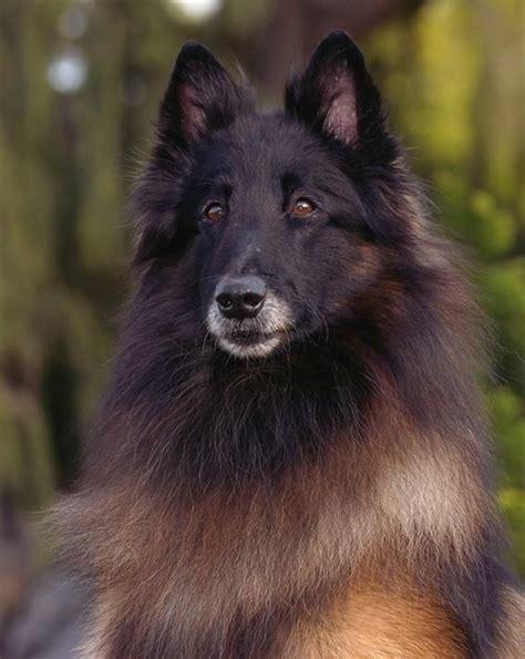 belgian shepherd tervuren tervuren belgian shepherd sheepdog dogs puppy pets
