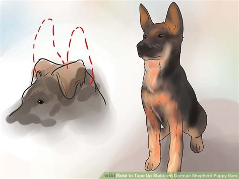 when do german shepherd puppies ears stand up how to up stubborn german shepherd puppy ears with pictures