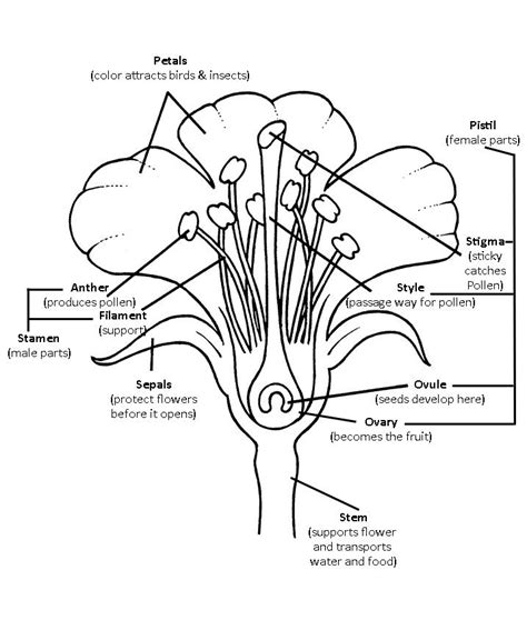 Parts Of A Plant Coloring Page Az Coloring Pages Coloring Pages Parts