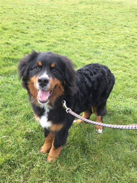 can you bathe a puppy at 8 weeks bernese mountain 7 months bath somerset pets4homes