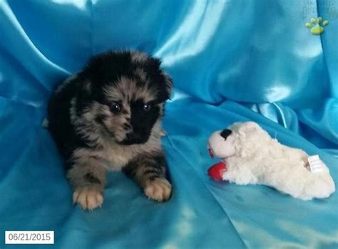 puppies for sale in iowa pomsky puppy for sale in iowa alaskan malamutes pomsky puppies pomsky
