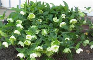 hellebores striking blooms for early spring the backyard gardener anr blogs