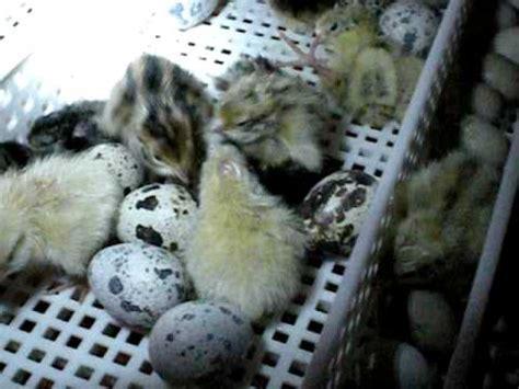 alimentazione quaglie schiusa di pulcini di quaglia comune e cinese