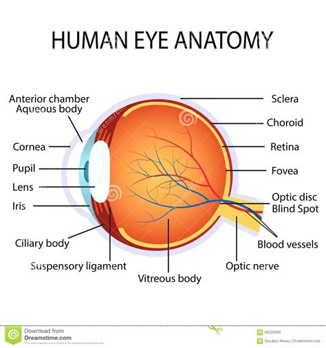 Human Eye Diagram For Kids