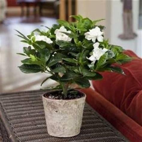 gardenia pianta da giardino gardenia jasminoides gardenia jasminoides piante da