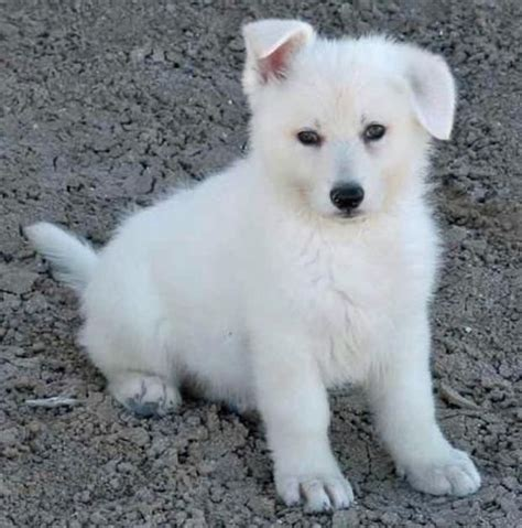 all white german shepherd puppies best 25 white german shepherds ideas on alsatian puppies for sale