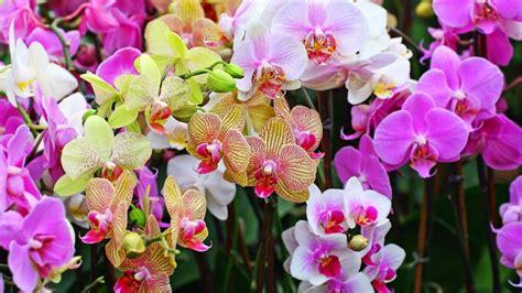 wallpaper bunga anggrek ungu 10 foto bunga anggrek dari berbagai daerah di indonesia