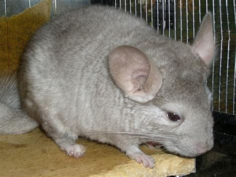 chinchilla info and photos images the wildlife
