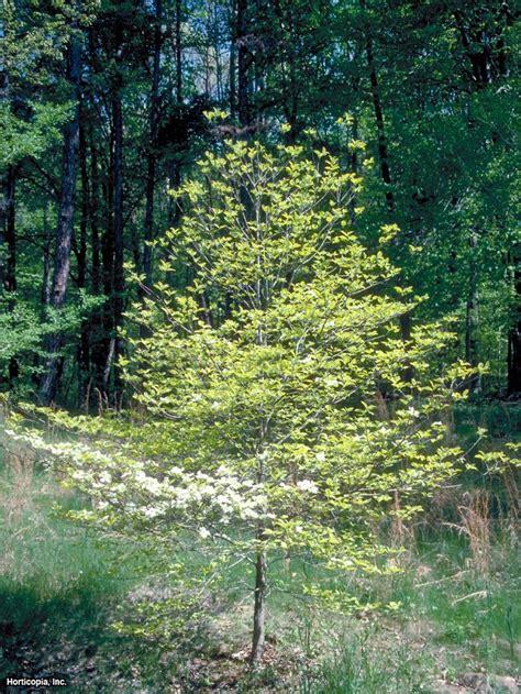 tree types flowering dogwood tree varieties hgtv