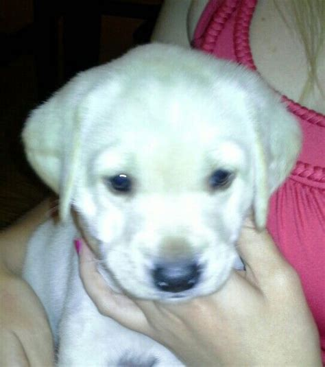 4 week lab puppy the world s catalog of ideas