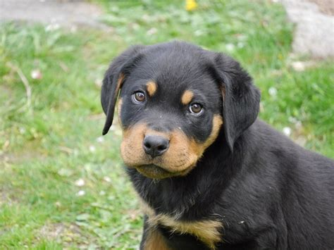 rottweiler puppies file rottweiler puppy 2 months jpg wikimedia commons