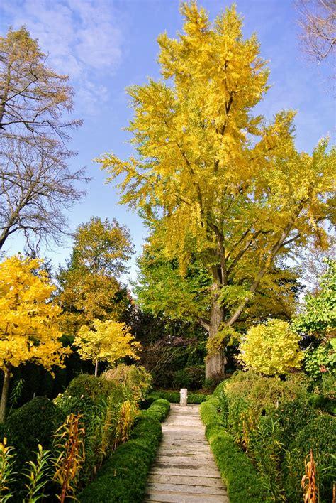 the fall of the ginkgo tree leaves the martha stewart blog