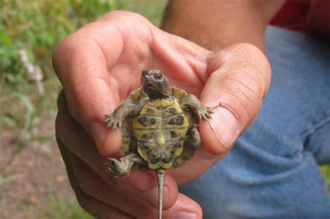 wood turtle facts  pictures