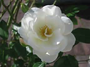 file white flower rose jpg wikipedia