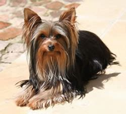 puppy names for yorkies yorkie names 101 names and meanings for your terrier dogs and