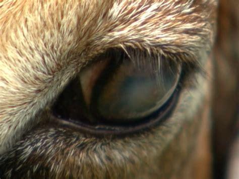 globo rural doenca nos olhos das cabras deve ser tratada