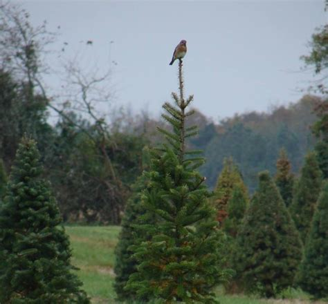 best places to cut christmas tree in monmouth county nj 10 places to cut your tree this season i cville