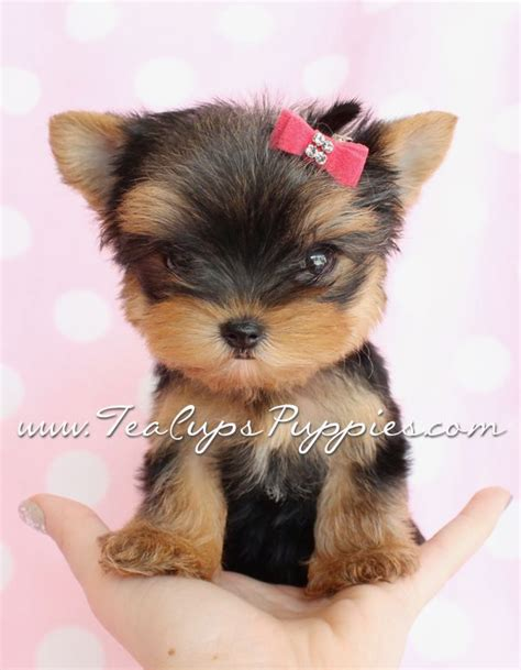 cheap teacup yorkie breeders top 25 best yorkie puppies ideas on puppies teacup yorkie and
