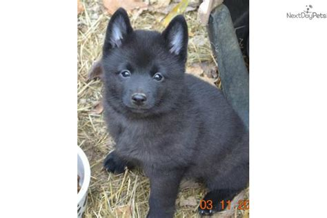 akc schipperke puppies for sale akc schipperke puppies for sale breeds picture