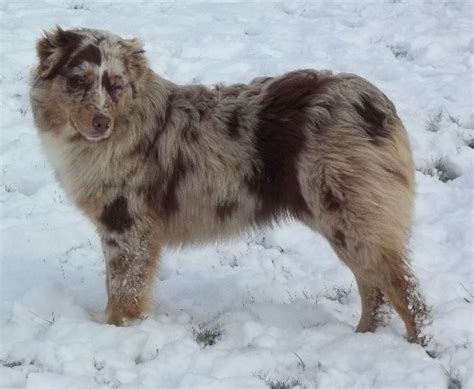australian shepherd puppies for sale in indiana australian shepherd puppies for sale in indiana breeds picture