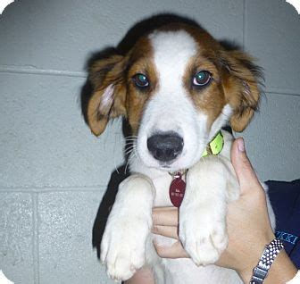 golden retriever springer spaniel mix golden retriever springer spaniel mix puppy for adoption in oviedo florida