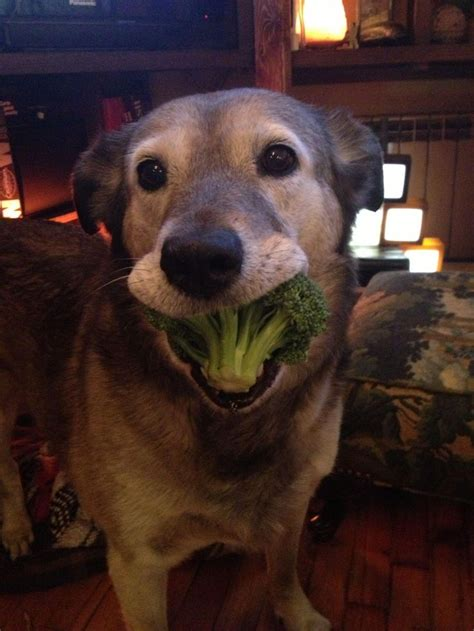 dogs broccoli my looooooves broccoli imgur adorable animals