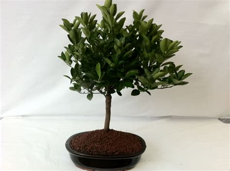vasi bonsai vendita centro bonsai iodice bonsai pre bonsai vendita