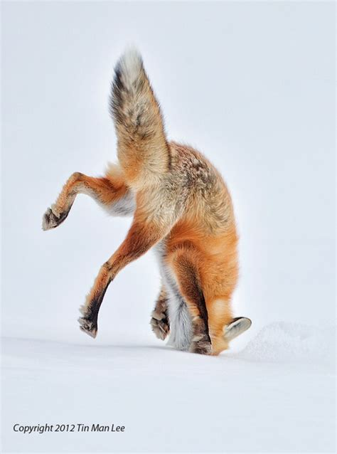 the man red fox red fox pouncing in snow by tin man animals