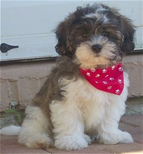 search zuchon on puppy haircuts zuchon shichon dog breed pictures 2