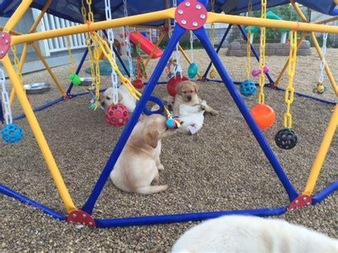 puppy playground puppy playground golden labrador retrievers iowa