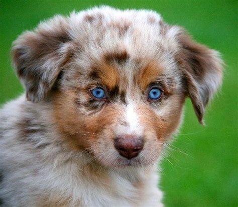 merle aussie puppy merle australian shepherd i want a puppy