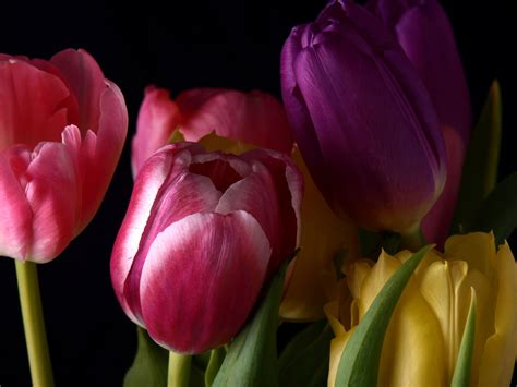 facts you may not know about tulips flower pressflower press