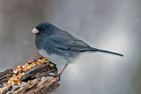 all about birds dark eyed junco