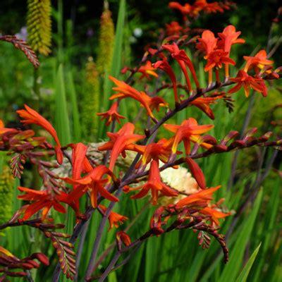 crocosmia paniculata dorset perennials