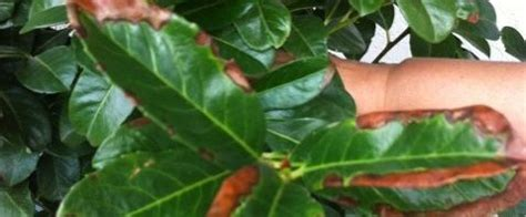 kirschlorbeer braune blätter winter kirschlorbeer braune bl 228 tter kirschlorbeer braune bl tter