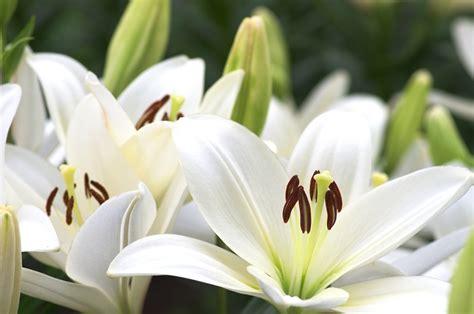 Fleur De Lys fleurs de lys photos