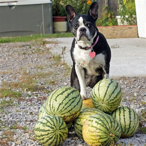 can pugs eat watermelon you might that grapes and raisins are toxic to dogs here s a rundown of other