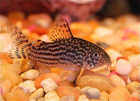 Makanan Ikan Hias Sapu Sapu macam dan jenis ikan aquarium air tawar