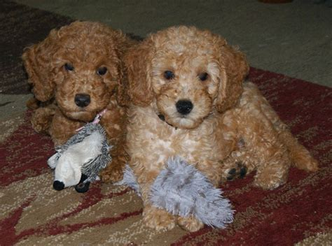labradoodle puppies indiana australian labradoodles indiana breeds picture